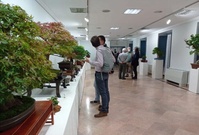 Novena edición de Bienal Bonsái en Burgos, una exposición donde contemplar árboles que pueden datar de los años 60 del siglo XIX.